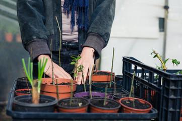 Gardener touching small plants