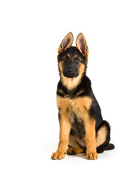 Cute puppy dog Germany Shepherd sitting on White background