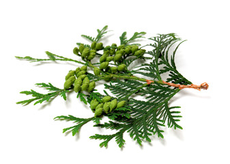 Green twig of thuja with cones