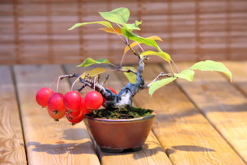 Bonsai Malus domestica - apple tree with red apples in pot