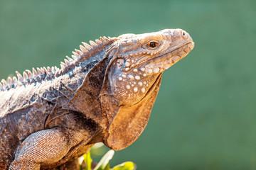 Side View Of Alert Grand Cayman Blue Iguana