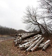 Pile of birch logs