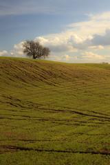Albero solitario nel verde della campagna
