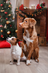 Dog Jack Russell Terrier and Dog Nova Scotia Duck Tolling Retriever holiday, Christmas and New Year