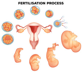 Fertilisation process on human