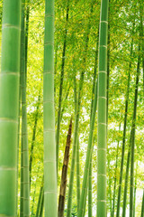 bamboo forest.Bamboo shoot.
