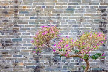 Cherry flower next to an old wall
