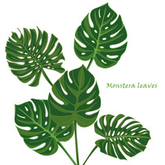 Set tropical monstera leaves. realistic drawing in vintage style. isolated on white background.