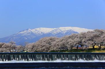 白石川堤の人目千本桜