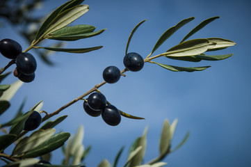 olive tree in autumn