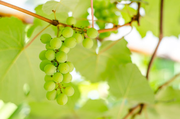 bunches grapes sweet hang from a vine