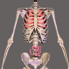 skeleton body parts