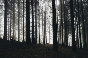 pine tree forest on rainy day with fog