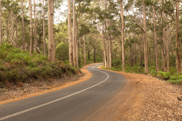 Tall Karri Trees in the Karri Forest with Winding Road