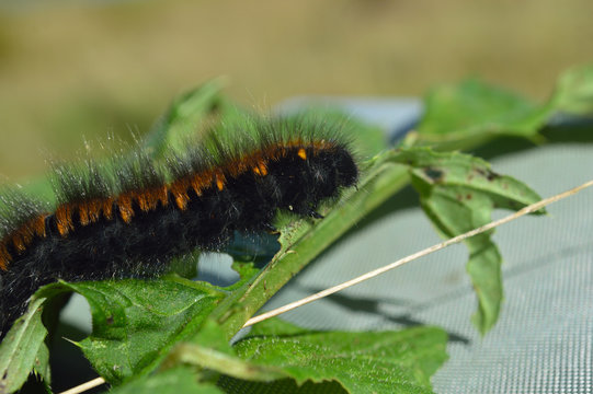 """Woolly bear"" caterpillar"