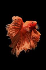 Orange siamese fighting fish isolated on black background.Ballerina betta fish