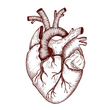 Anatomical heart - vector vintage style detailed illustration, human organ