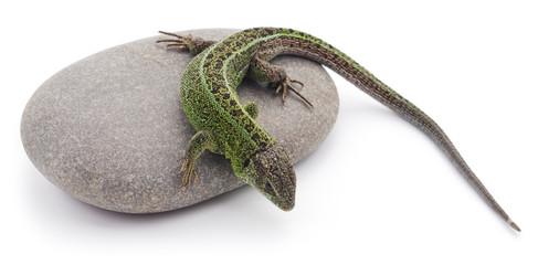 Lizard on the stone.