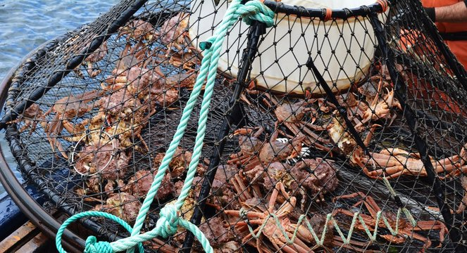 Opilio crab caught in a trap off the coast of Alaska.