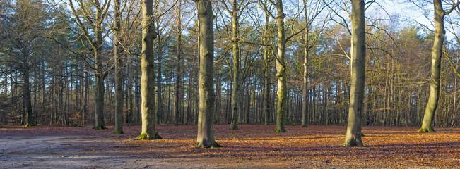 Beech forest in sunlight in winter