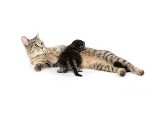 Female tabby cat and kitten