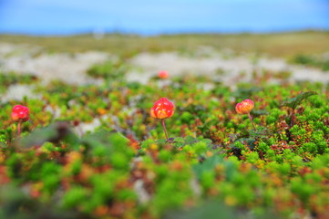 Cloudberry closeup on a background of the sea