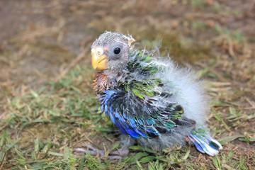 Orphaned baby Australian Rosella sitting on grass