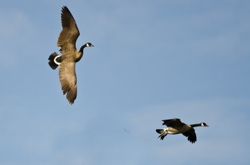 Two Canada Geese Coming In for a Landing