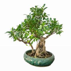 banyan bonsai tree