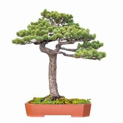 bonsai tree of pine