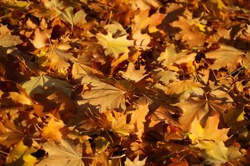 Blanket of fallen maple leaves