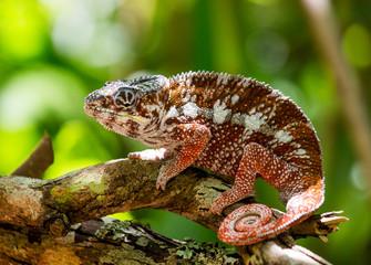 Chameleon sitting on a branch. Madagascar. An excellent illustration. Close-up.