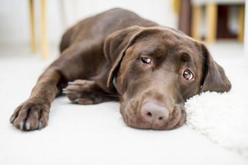 Cute Chocolate brown labrador portrait