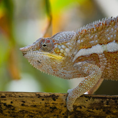 Printed roller blinds Chameleon Chameleon sitting on a branch. Madagascar. An excellent illustration. Close-up.