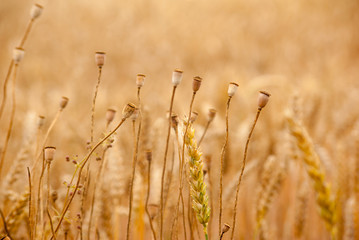 Field of Dry Golden Wheat in summer