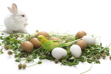 Budgie and Bunny on Eggs
