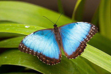 Big Butterfly Blue Morpho, Morpho peleides,  Costa Rica