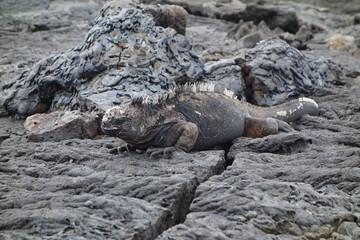 Meerechse auf Galapagos - Santa Cruz
