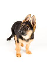cute puppy dog german shepherd isolated on white looking up