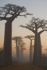 Avenue of baobabs at dawn in the mist. General view. Madagascar. An excellent illustration.