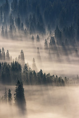 coniferous forest in foggy mountains