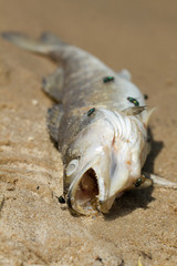 Dead fish on the rive