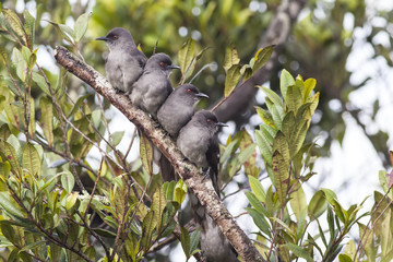 four lovely Long-tailed Sibia bird perch closely on the same branch
