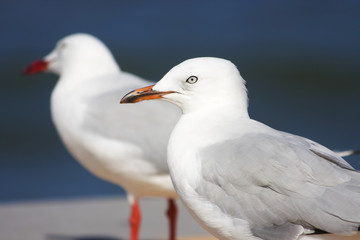 Two Boardwalk Gulls