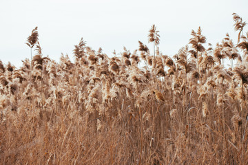 Dry reed. Abstract natural background.