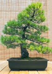 Бонсай. Белая японская сосна Возраст около 70 лет.
