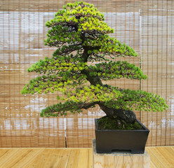 Бонсай. Белая японская сосна Возраст около 100 лет.
