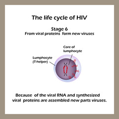 The life cycle of HIV. Stage 6 - Of the viral RNA and viral proteins synthesized new parts are assembled virus.  World AIDS Day.