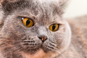 Close-up of British Shorthair cat, 5 years old
