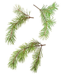 three green pine branches isolated on white